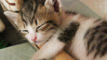 日本猫ねこ協会『#OSHINEKO』様 猫インフルエンサーインタビュー記事作成